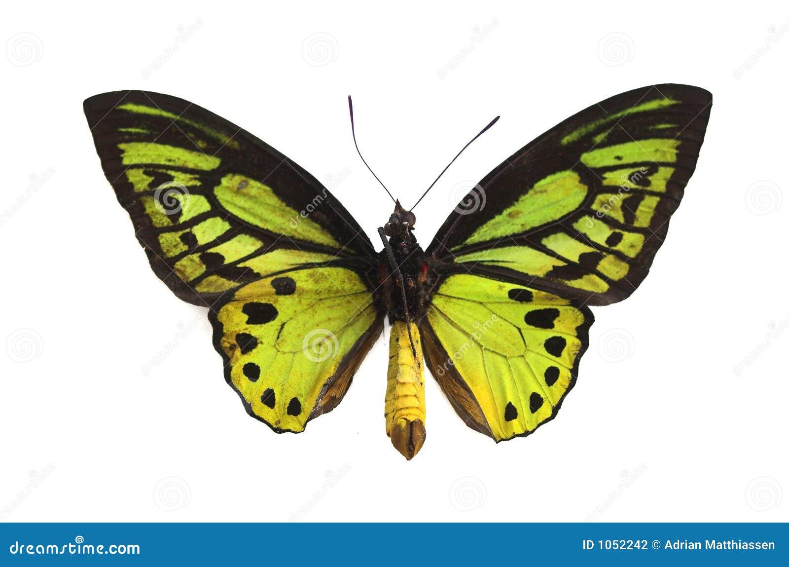 Groene Vlinder 3