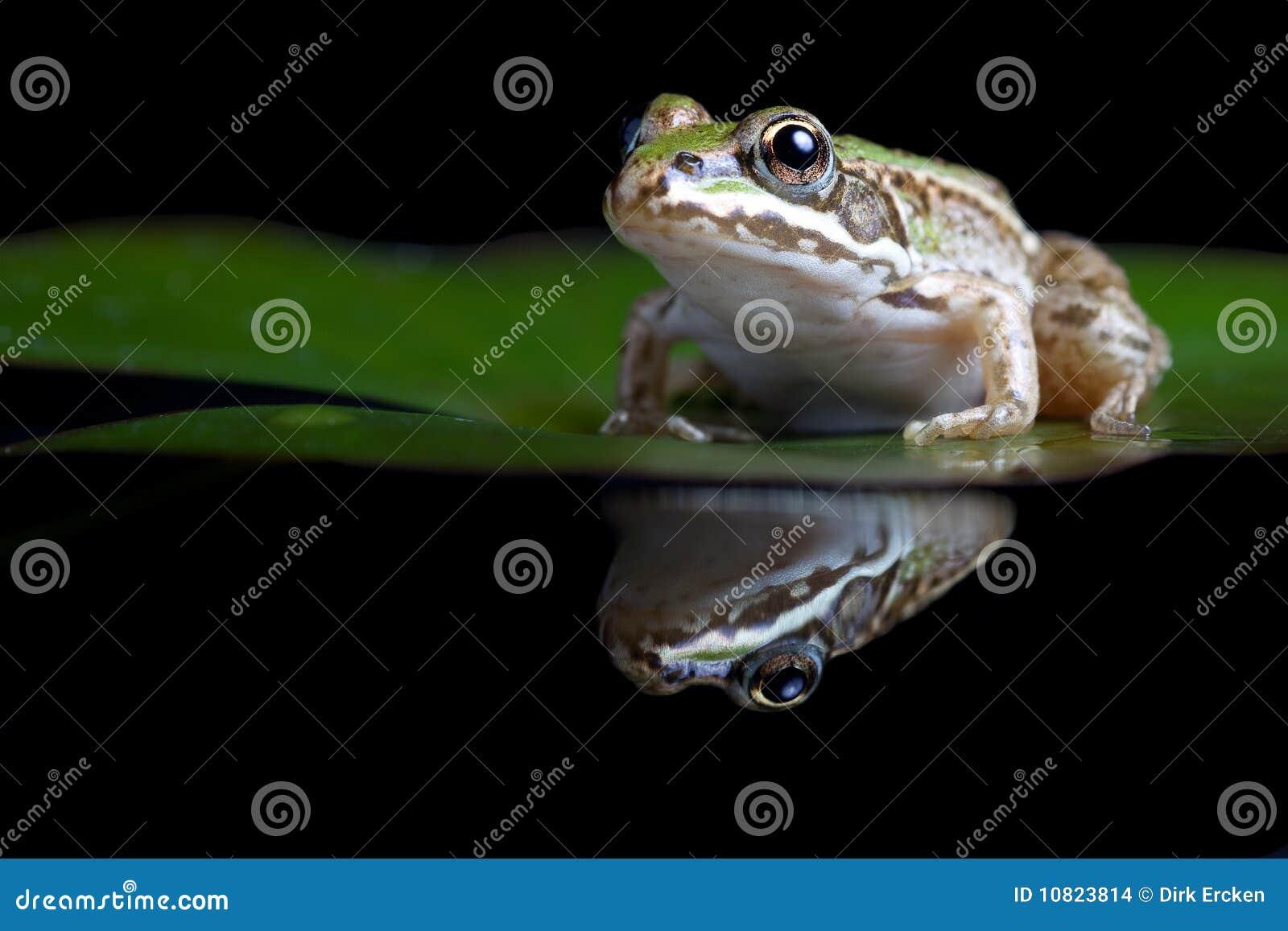 Groene weerspiegelde kikker