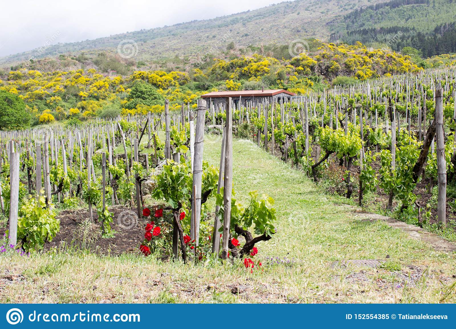 Groene wijngaard in Sicilië