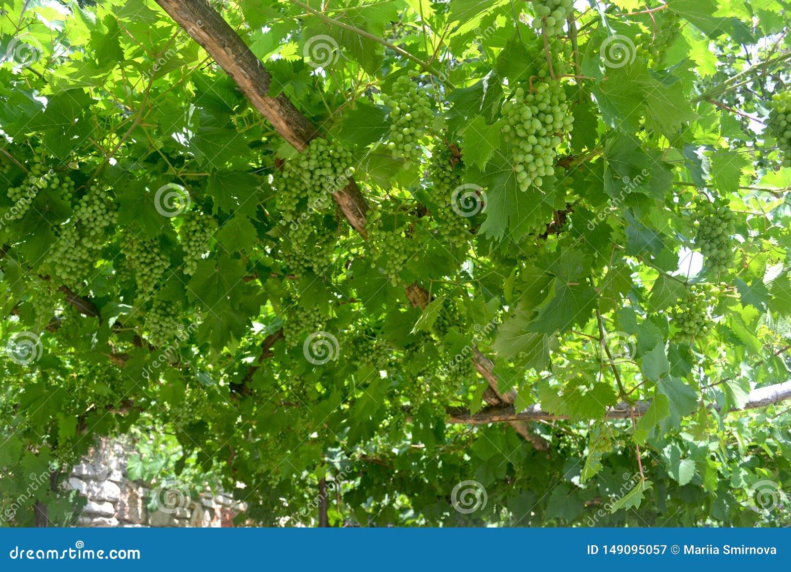 Groene wijnstok op blauwe achtergrond De zomerachtergrond
