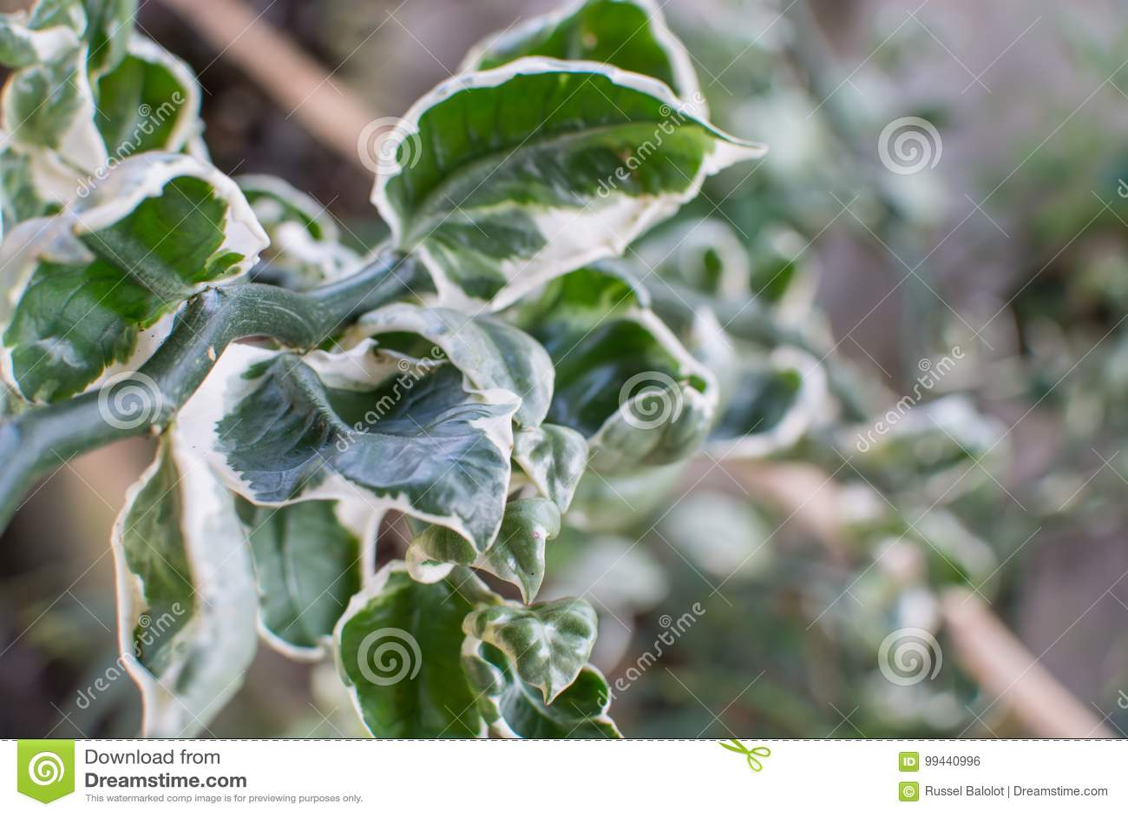 Groene witte bladeren