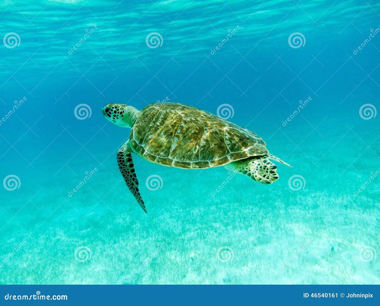 Groene Zeeschildpad die (Chelonia-mydas) zwemmen