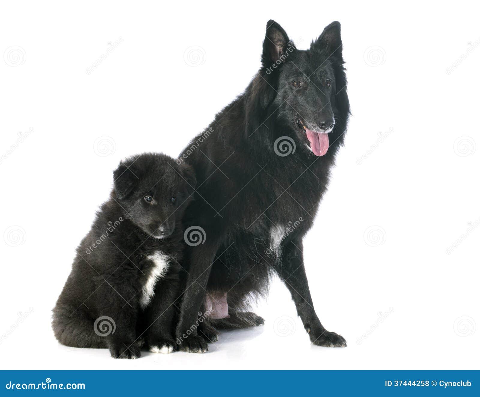Groenendael del perrito y del adulto