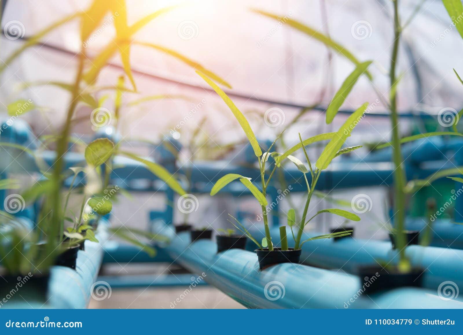 Groentenhydrocultuur die op landbouwgrondachtergrond bewerken Organisch F