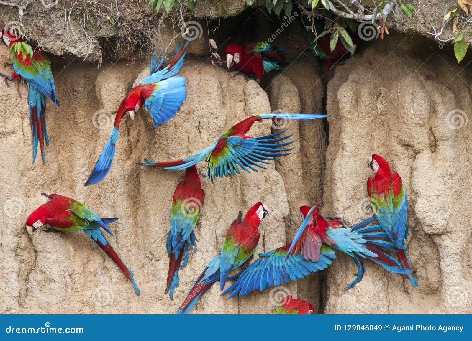 Groenvleugelara,红和绿的金刚鹦鹉, Ara chloropterus