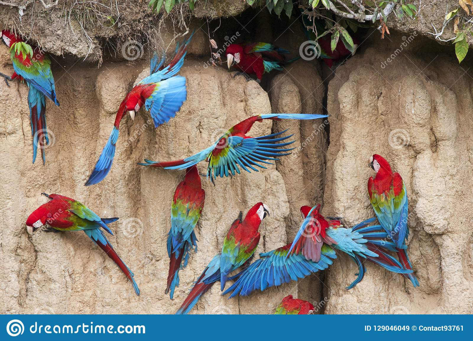 Groenvleugelara, Red-and-green Macaw, Ara chloropterus