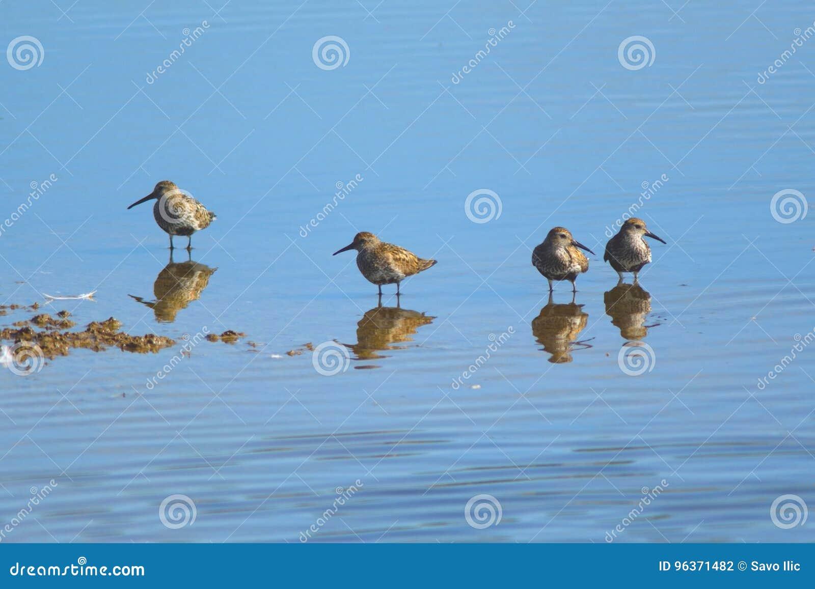 Groep die strandlopers in ondiep water voeden