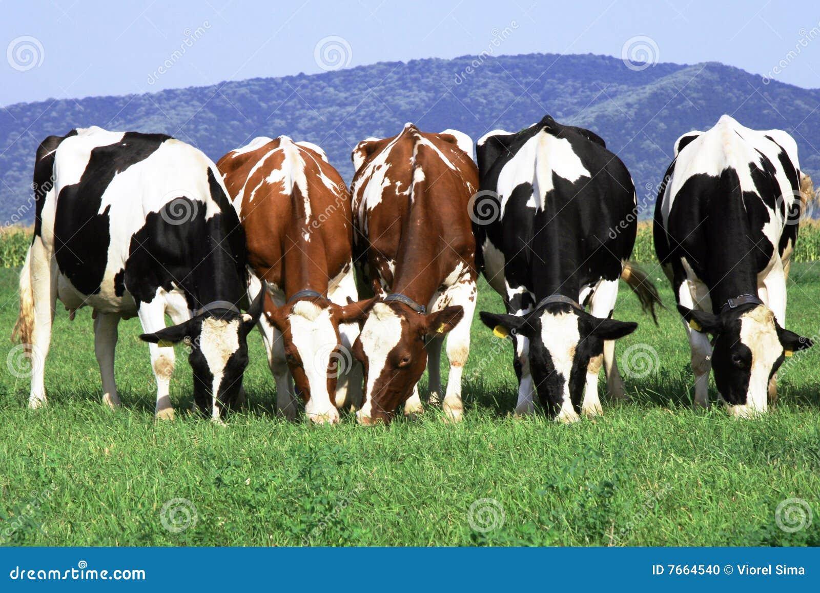 Groep koeien het weiden