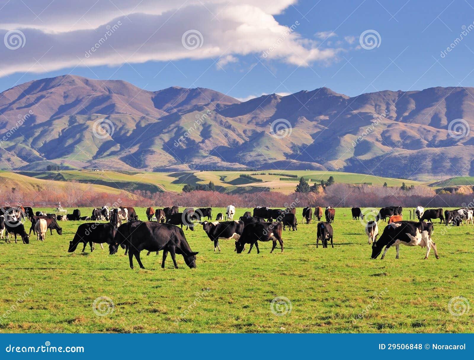 Groep Koeien op een Gebied