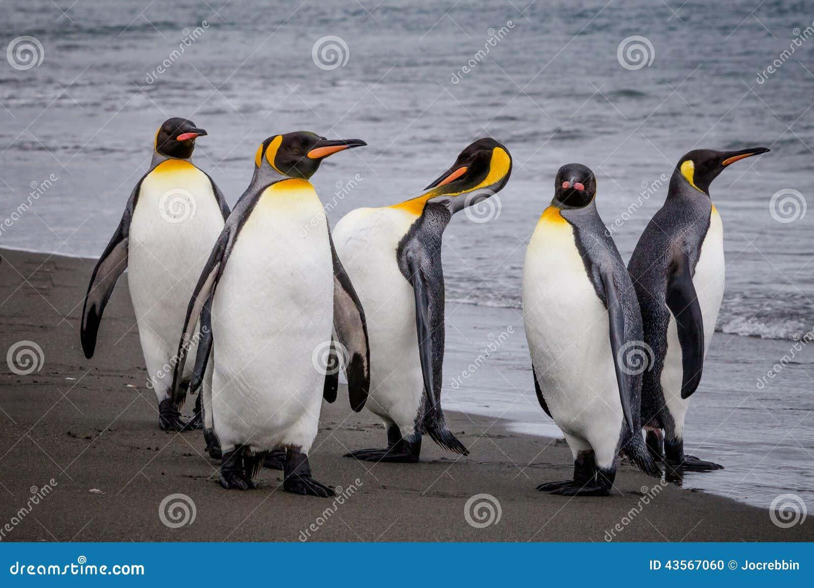Groep Koning Penguins op de rand van het water in St Andrews Bay, Zuid-Georgië