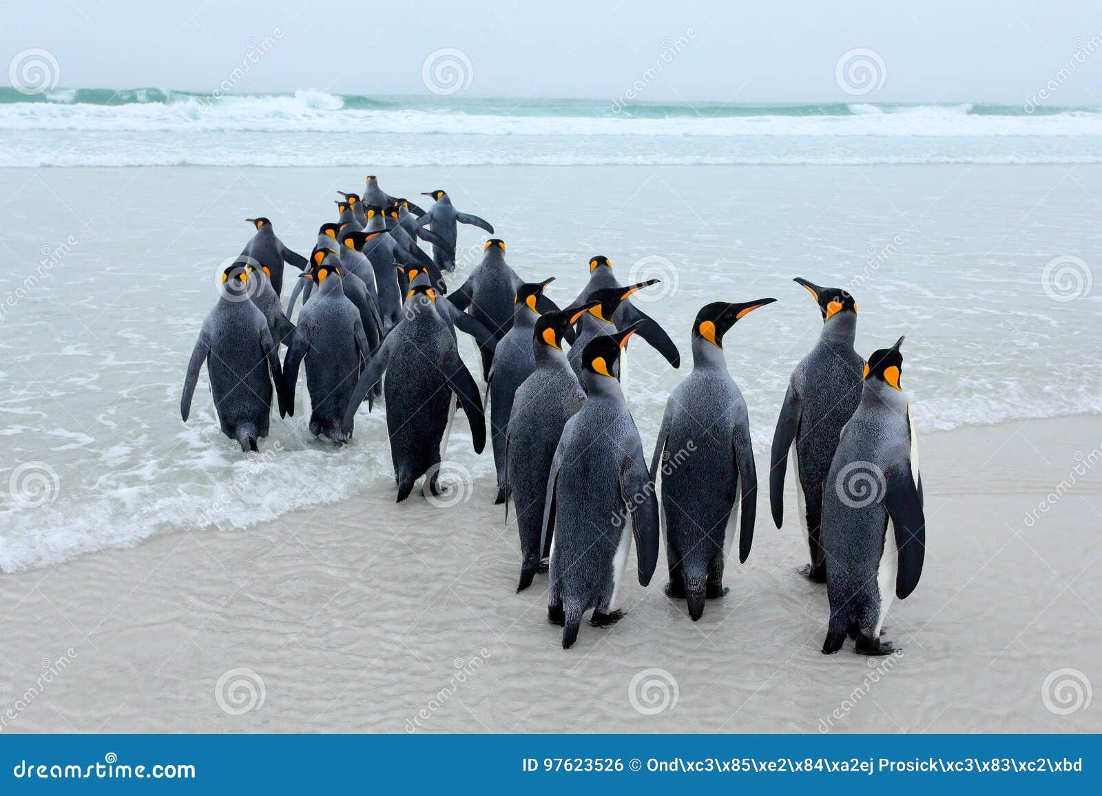 Groep Koningspinguïnen, Aptenodytes-patagonicus, die van wit zand naar overzees, artic dieren in de aardhabitat gaan, donkerblauw