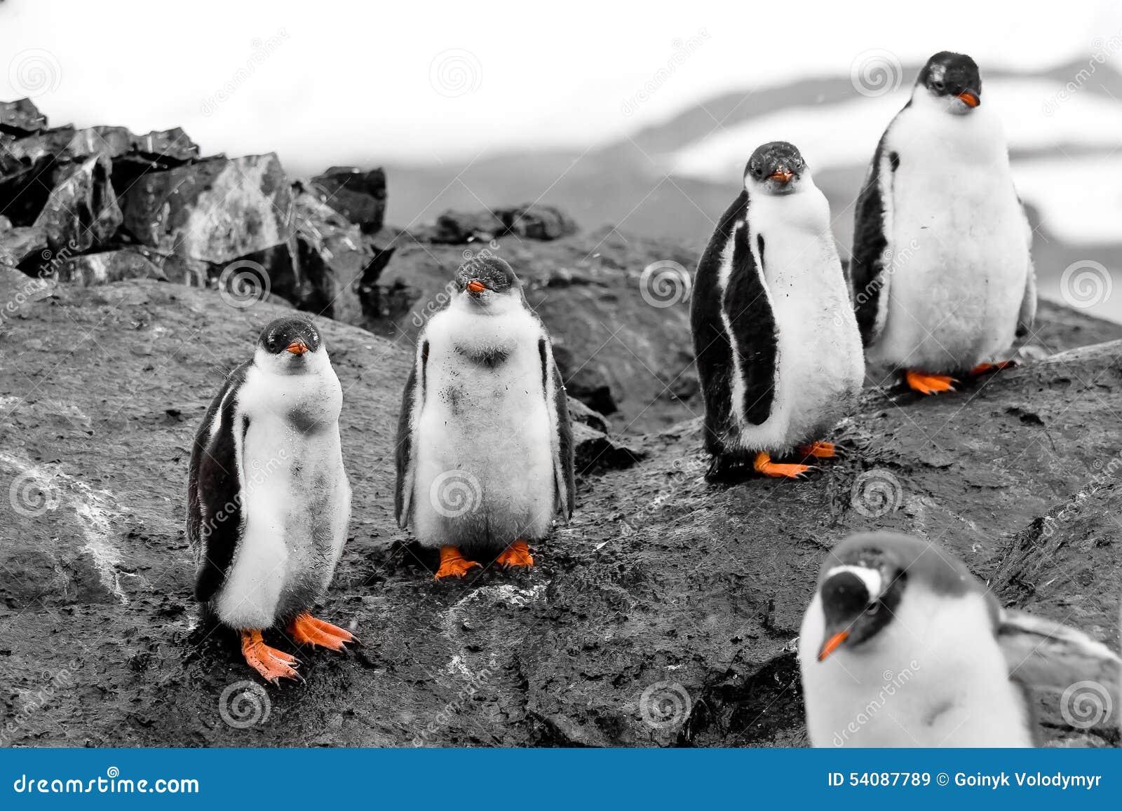 Groep pinguïnkuikens