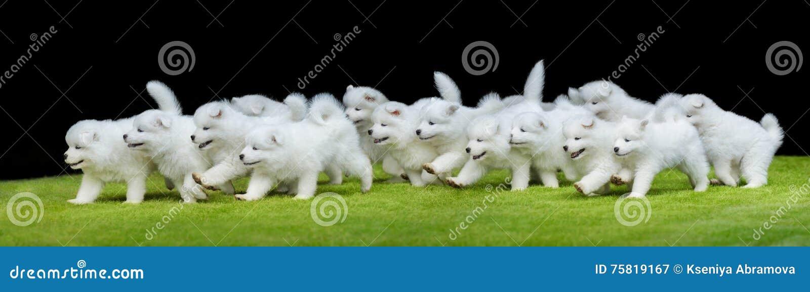 Groep puppy die van Samoyed-hond op groen gras lopen