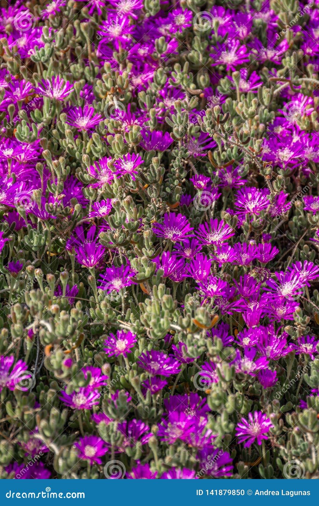 Groep purpere bloemen