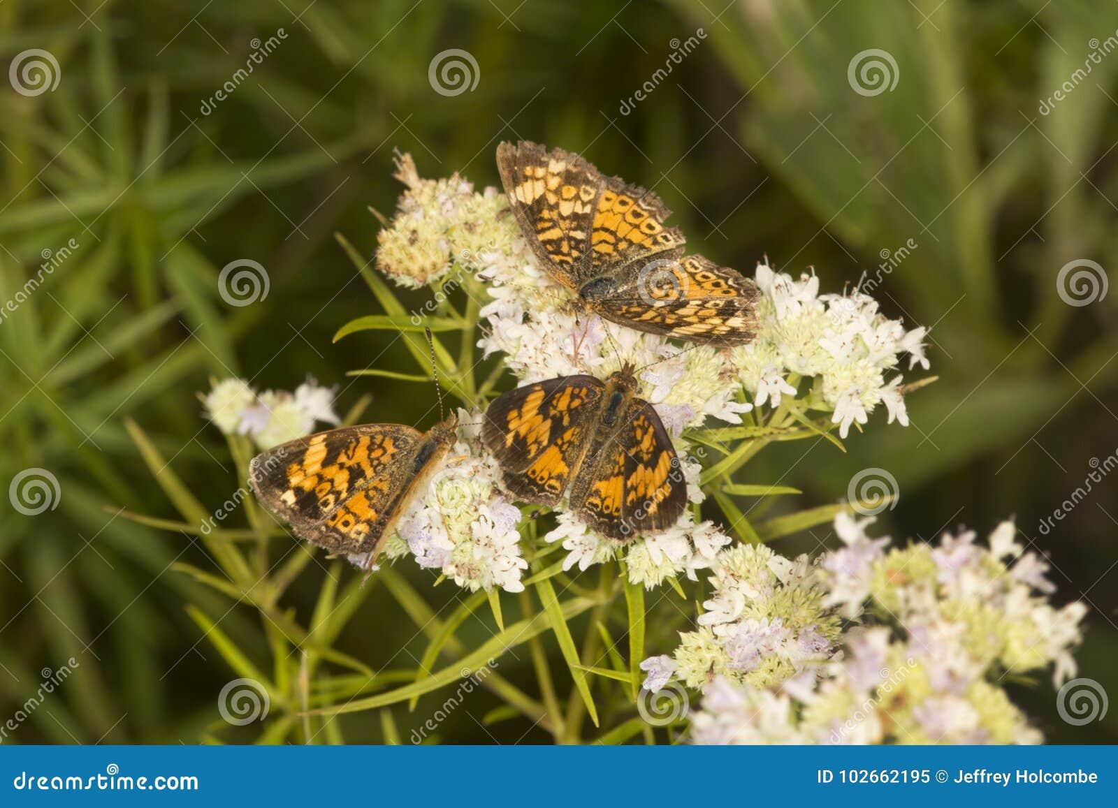 Groep spangled fritillary vlinders op de bloem van de bergmunt