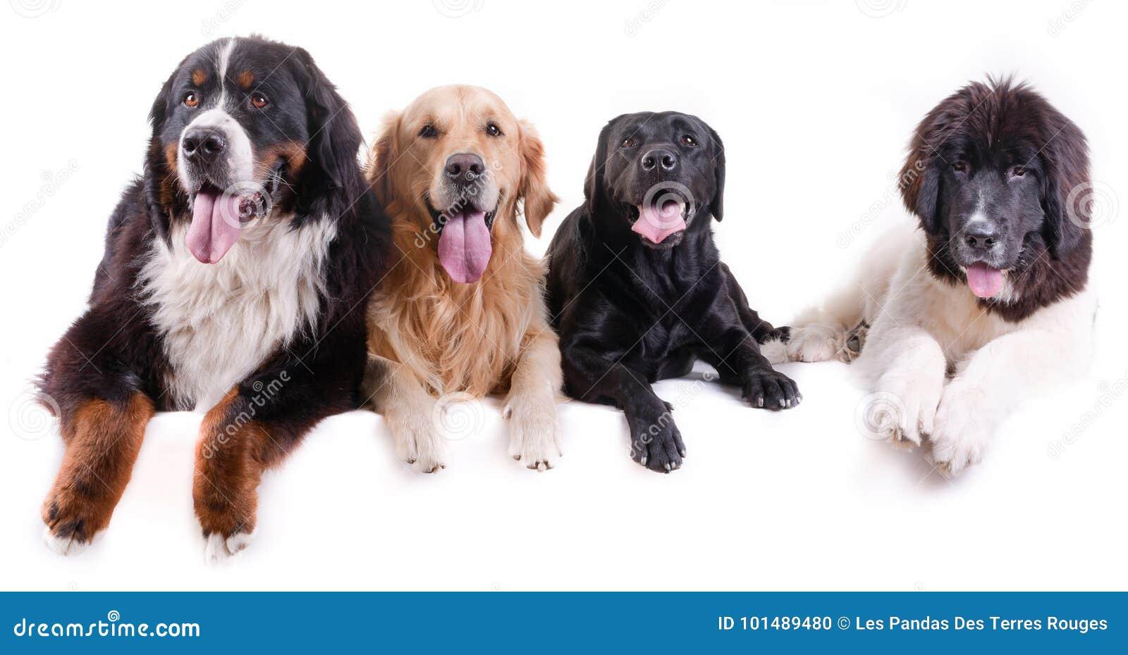 Groep verschillende rassenhond voor witte achtergrond