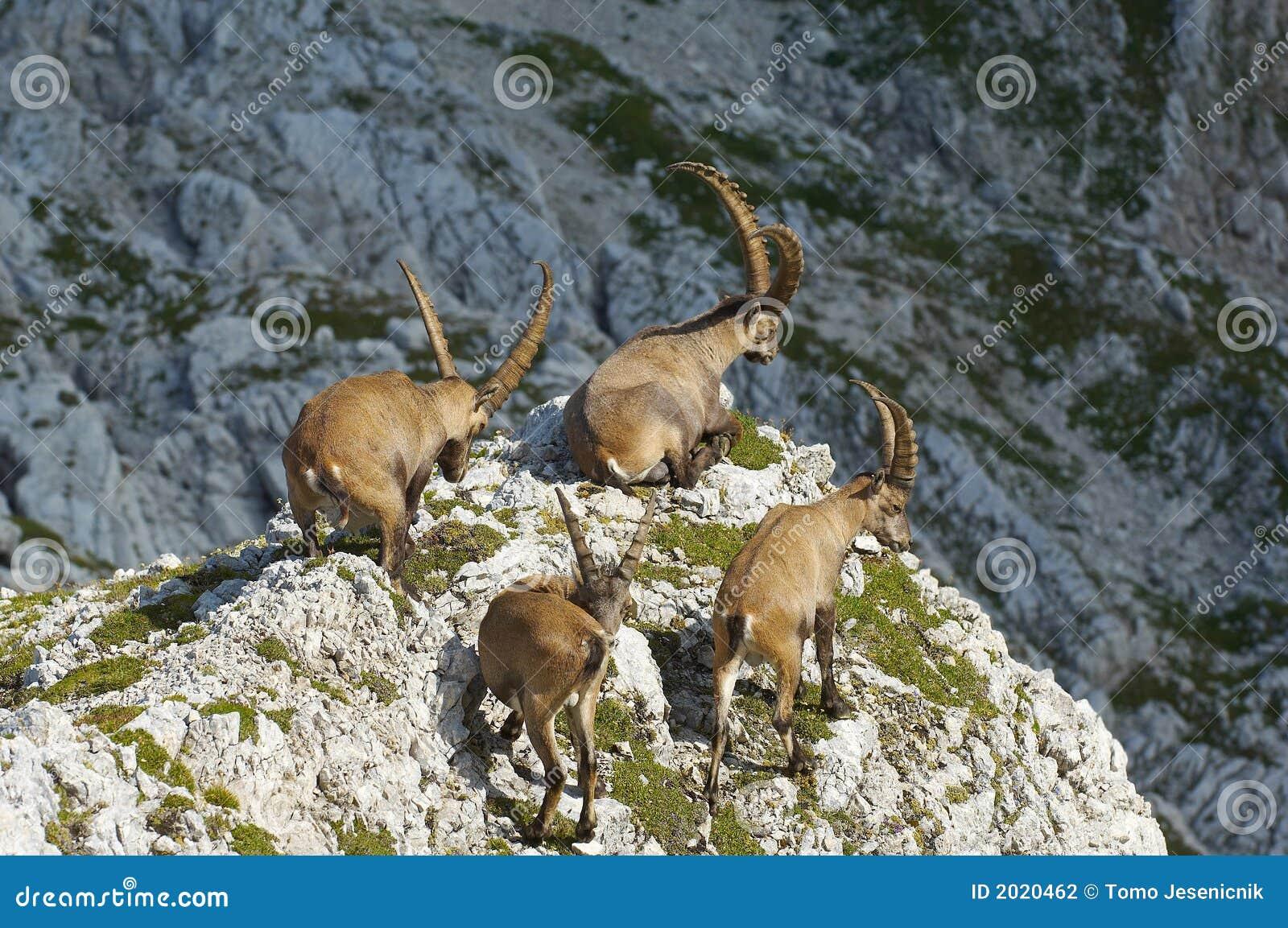 Groep wilde steenbok in Julian Alpen in Slovenië