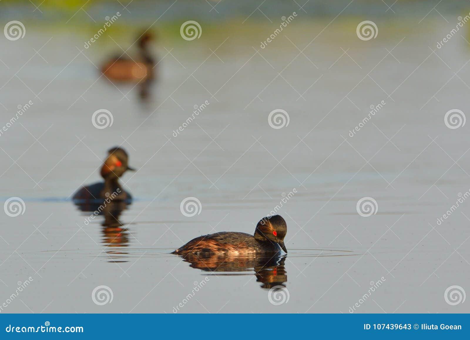 Groep Zwarte Necked Futen op Water