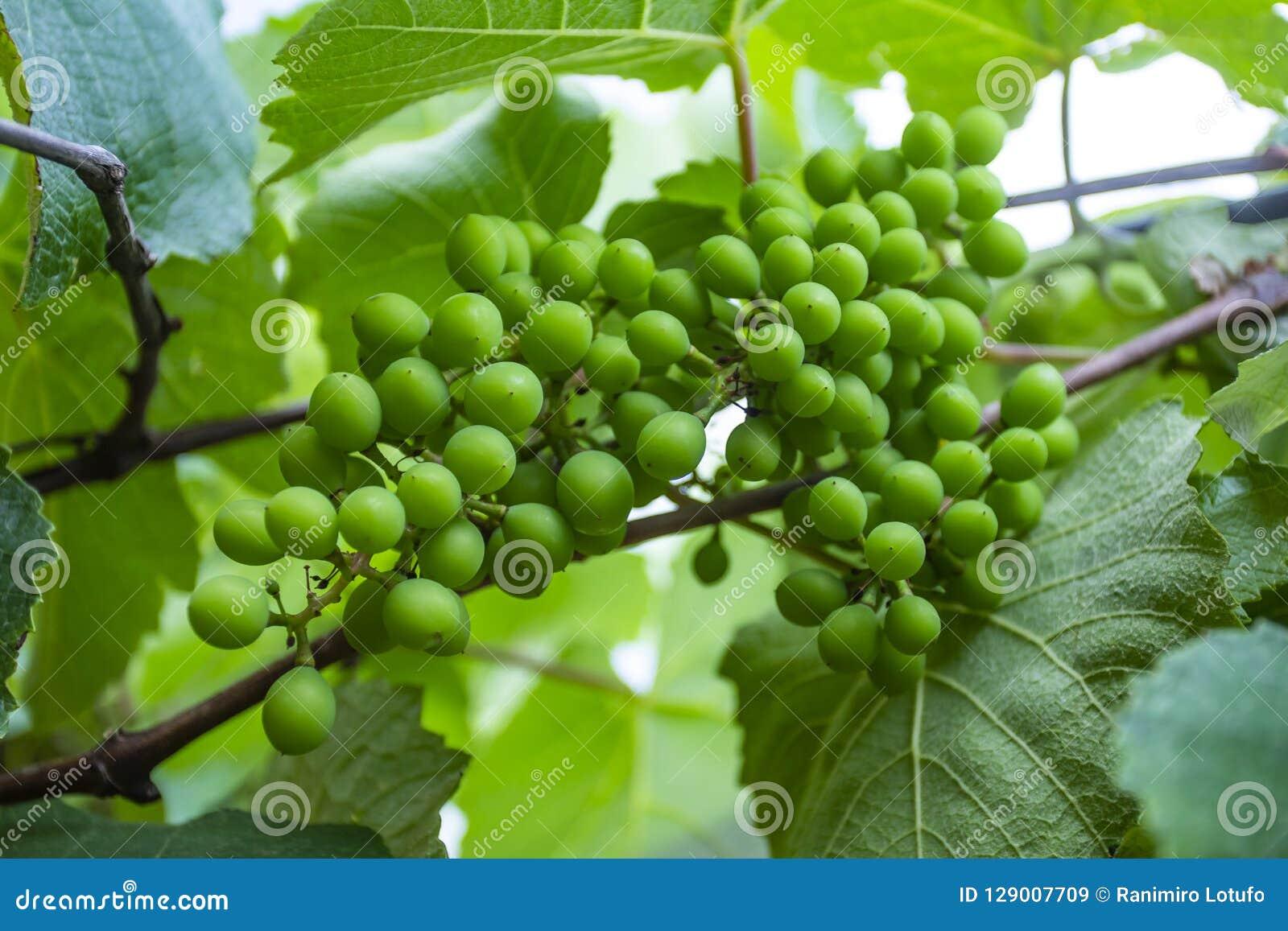 Grona winogrona zieleń Nowy zielony winogrono w winnicy