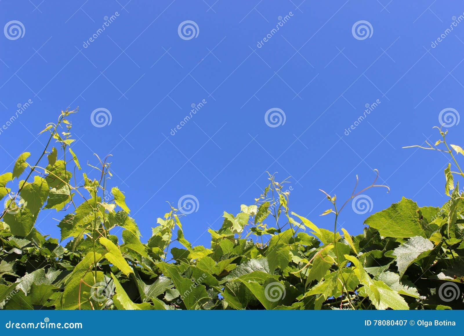 Gronowego winogradu rozciągliwość niebo