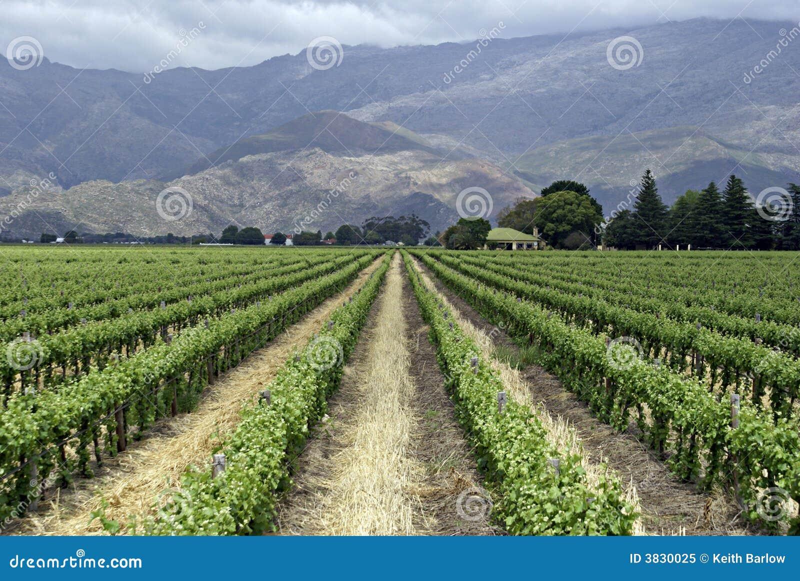 Gronowi winorośli