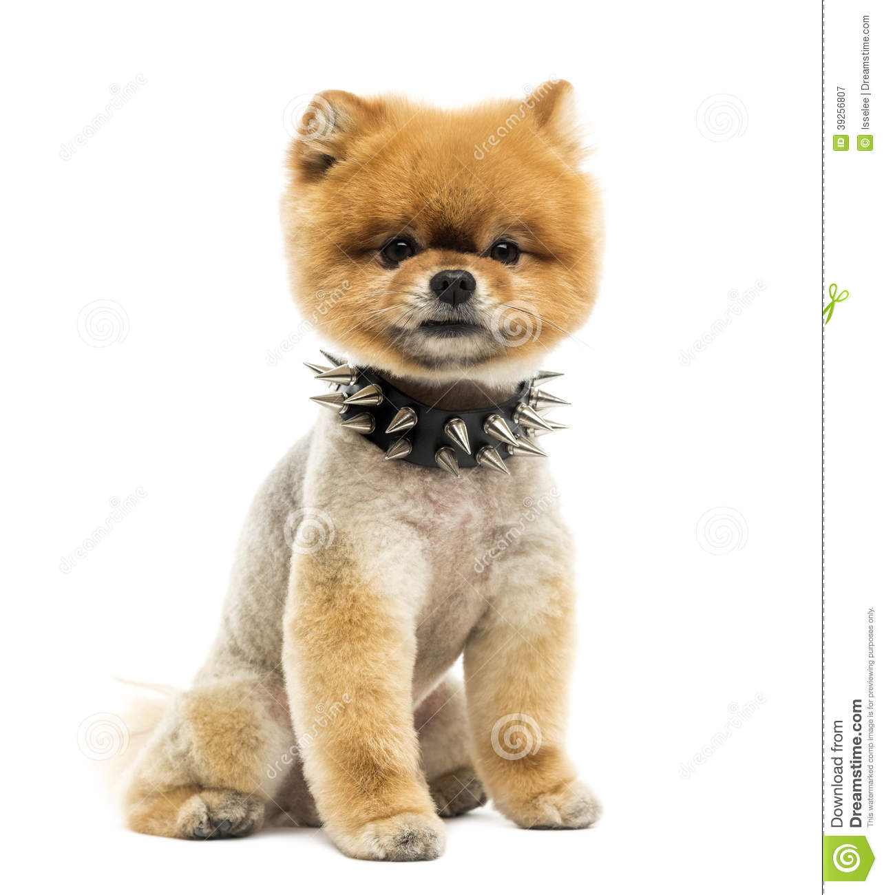 pomeranian collar groomed pomeranian dog sitting wearing a spiked collar 1455