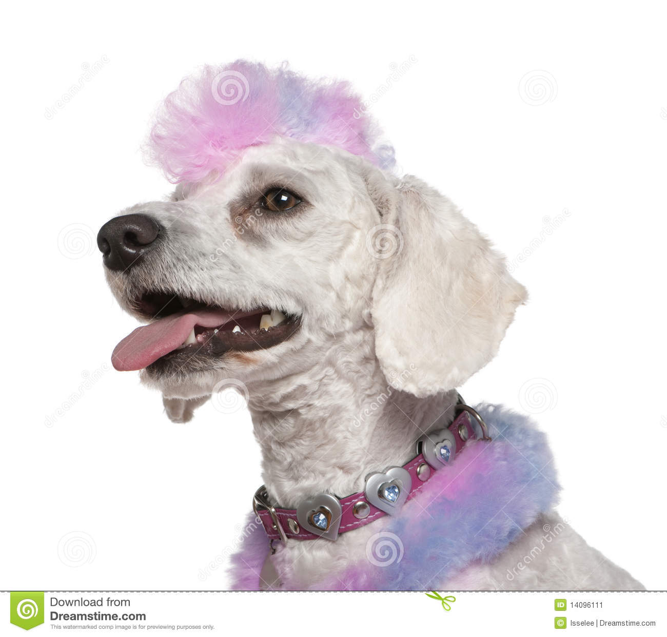 Groomed poodle with pink and purple fur and mohawk