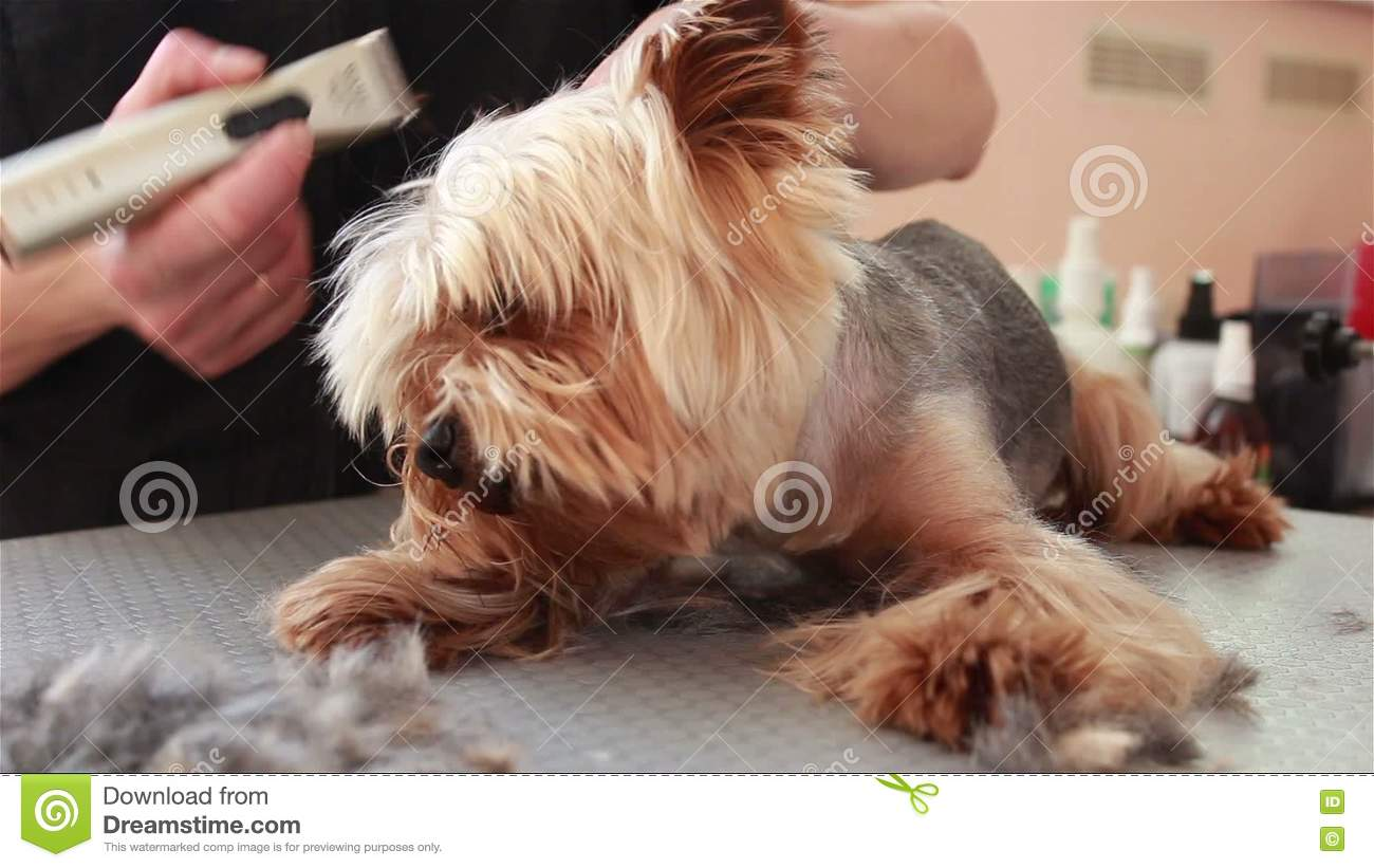 Groomer Cut Hair On The Ears Yorkshire Terrier Stock Video Video