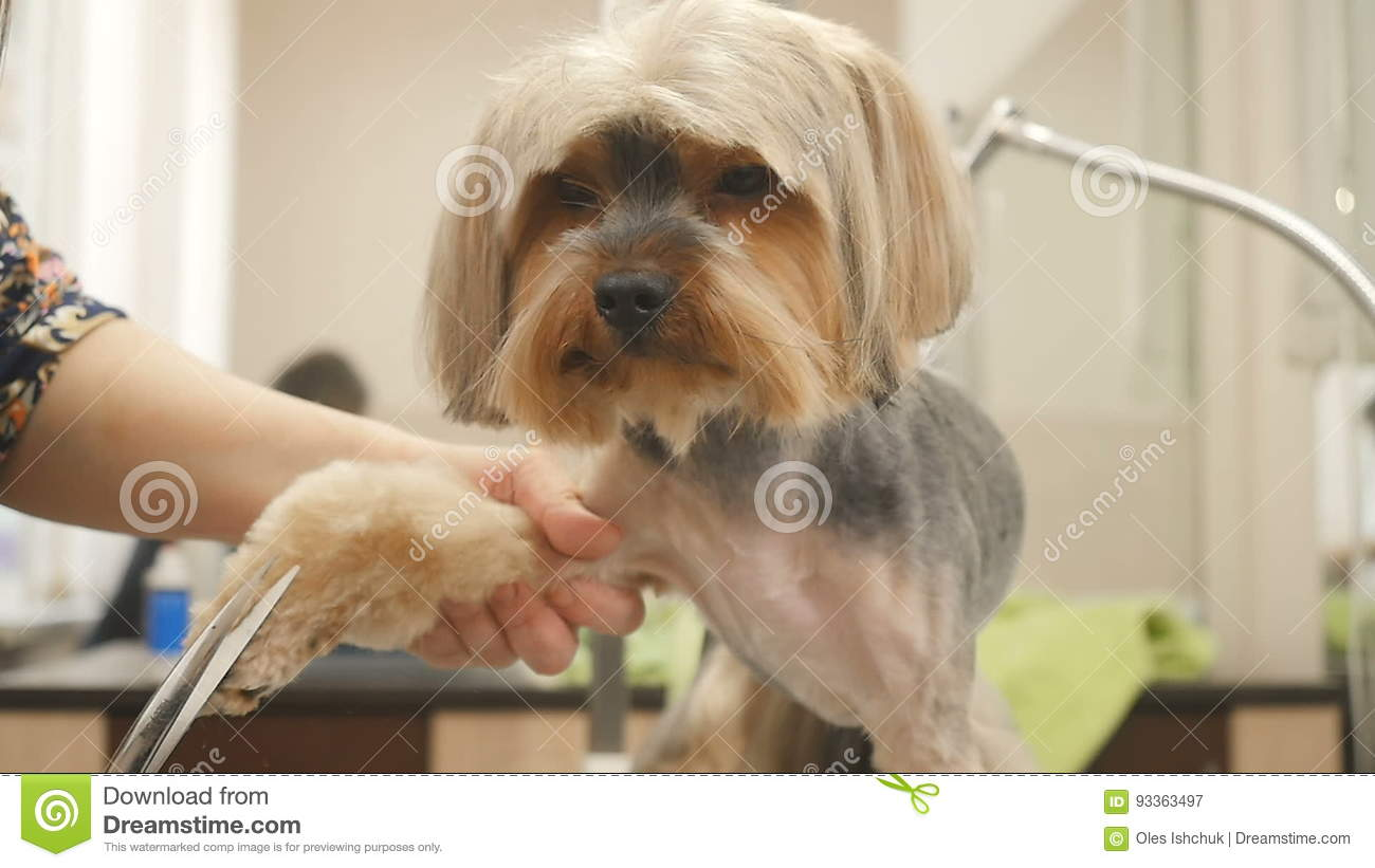 The Groomer Cuts The Hair Of Little Puppy Stock Video Video Of