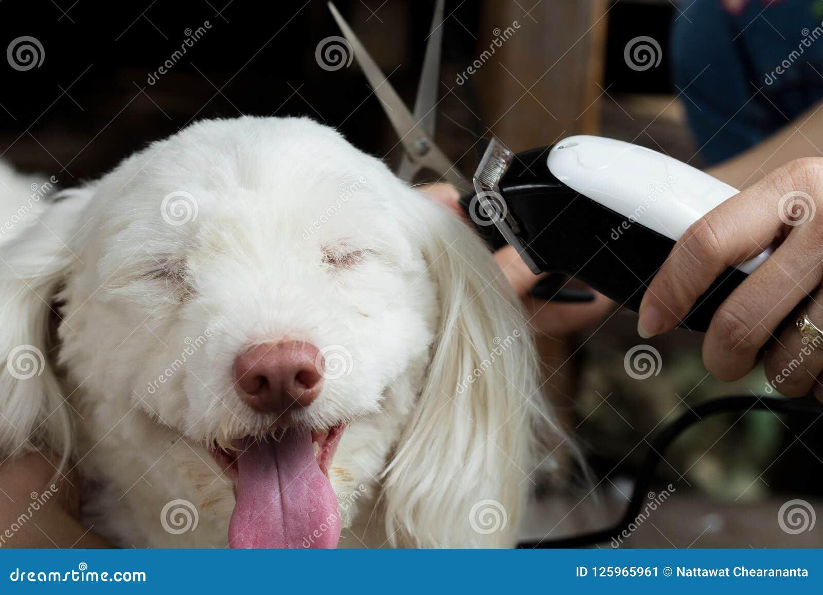 Groomer Cutting Hair Of Small White Dog Scissors Stock Image Image