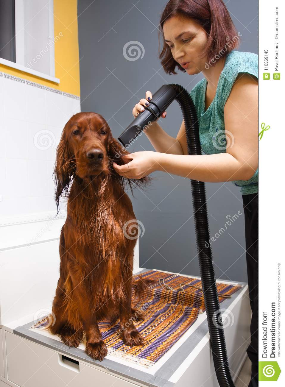 Groomer drying hair of dog with hair dryer