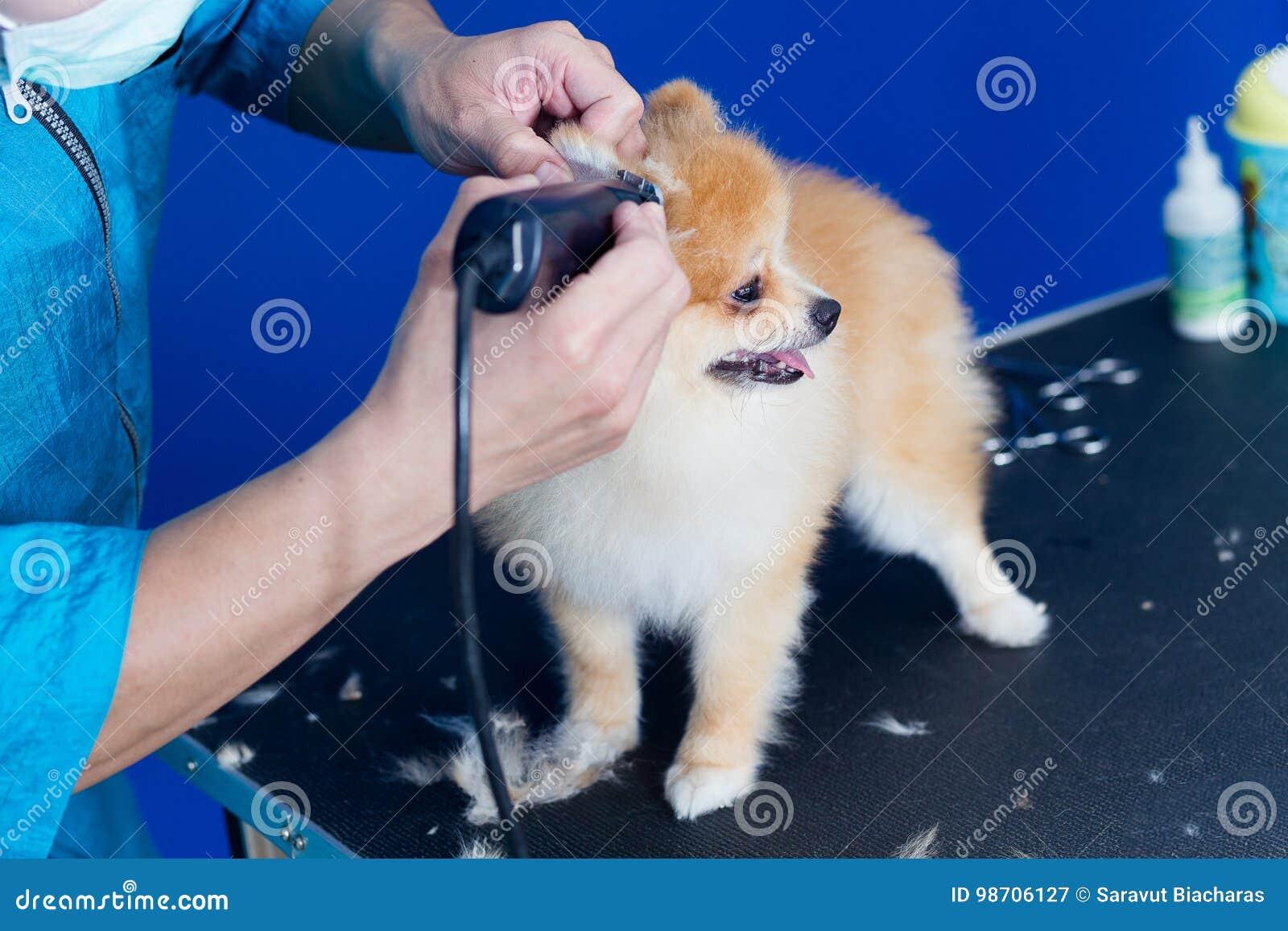 Groomer Haircut Cute Pomeranian In Hair Service Stock Image Image