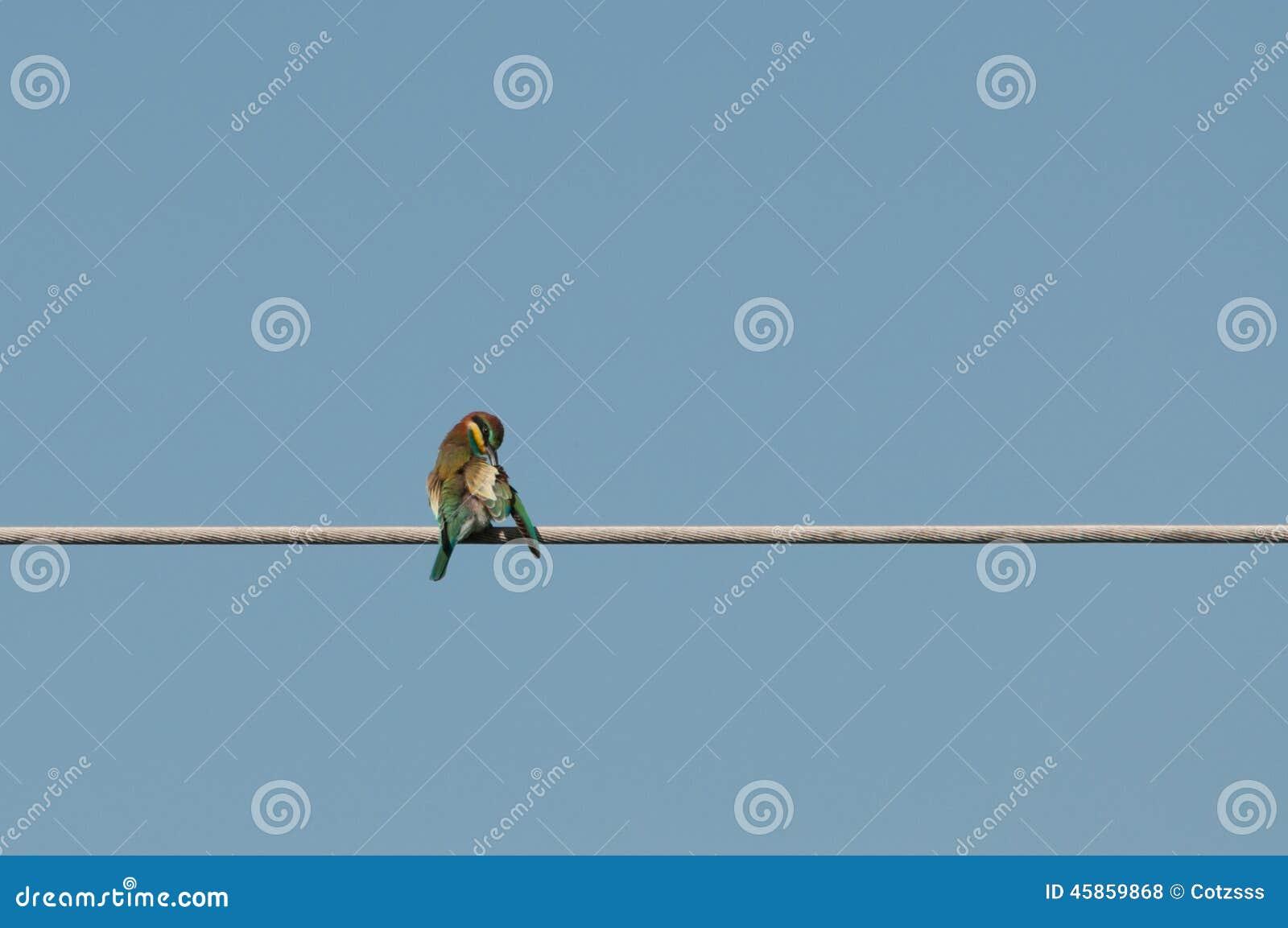 Grooming European Bee-eater (Merops Apiaster) Stock Photo - Image of ...