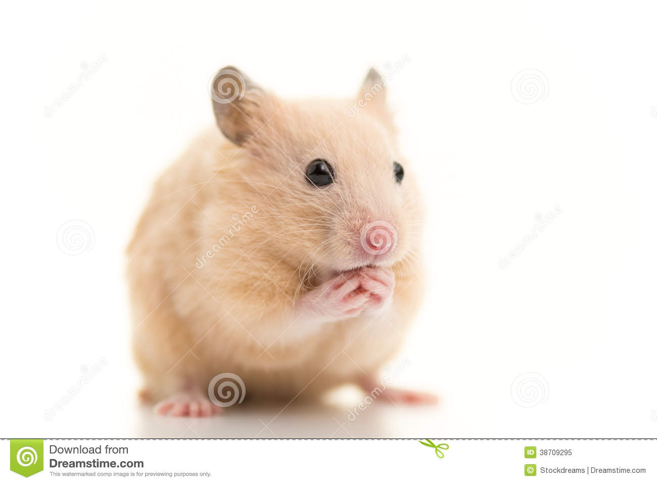 Brown Syrian Hamsters