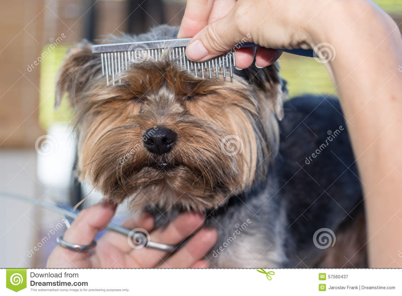 Grooming Of The Head Of Yorkshire Terrier Stock Image Image Of