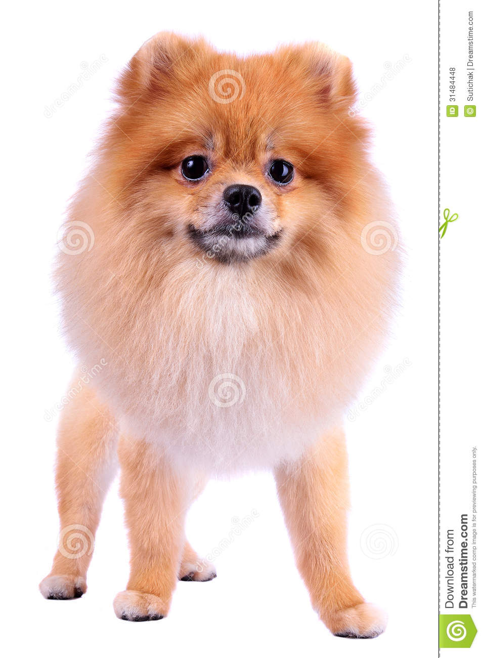 grooming lion dog hair pomeranian dog stock photo image 31484448. Black Bedroom Furniture Sets. Home Design Ideas