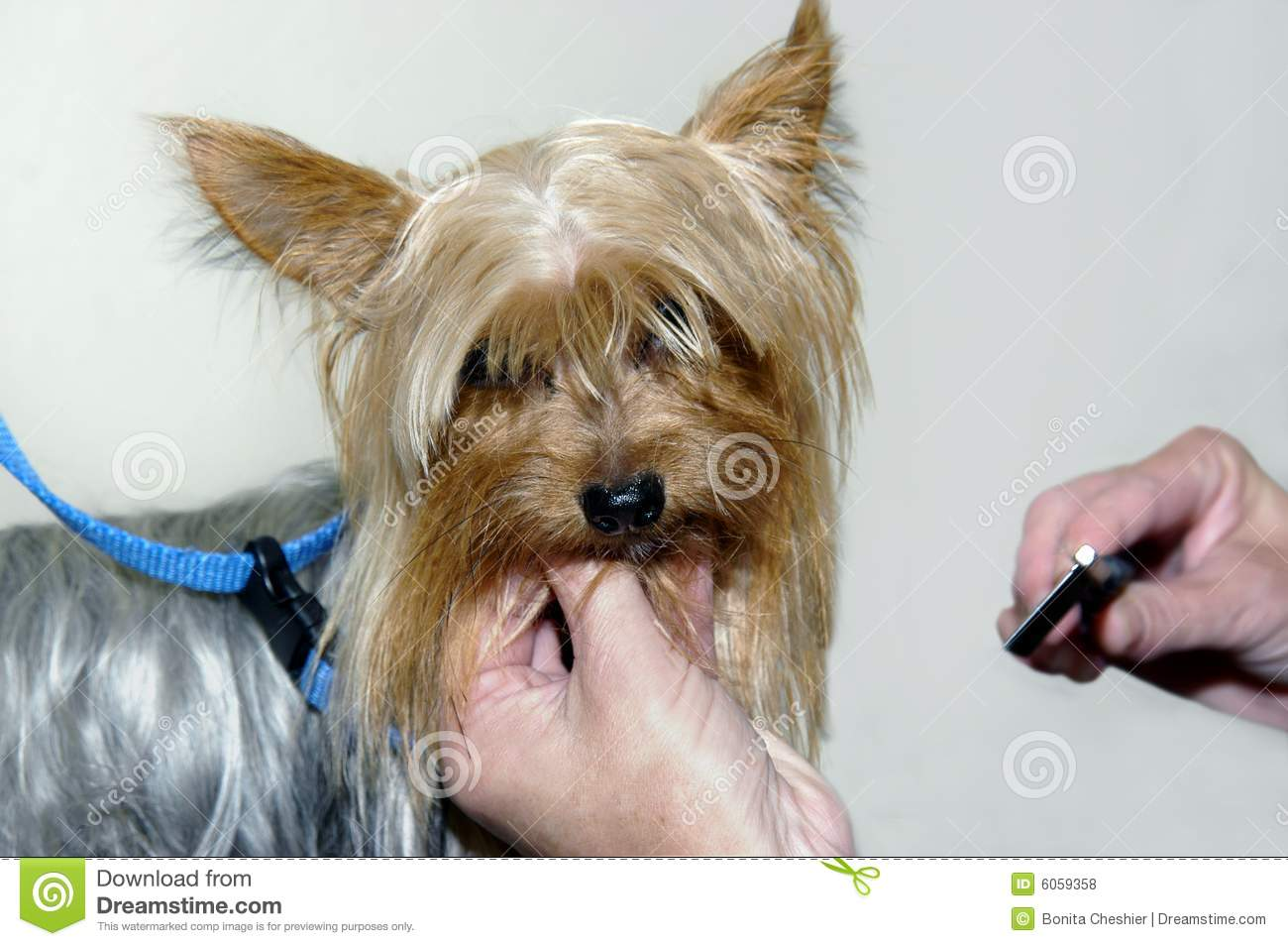 Grooming A Yorkie Stock Photo Image Of Groomer Breed 6059358