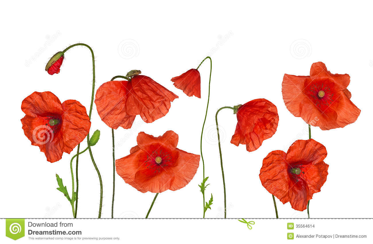 Groop Of Wild Red Poppy Flowers On White Stock Photo Image Of