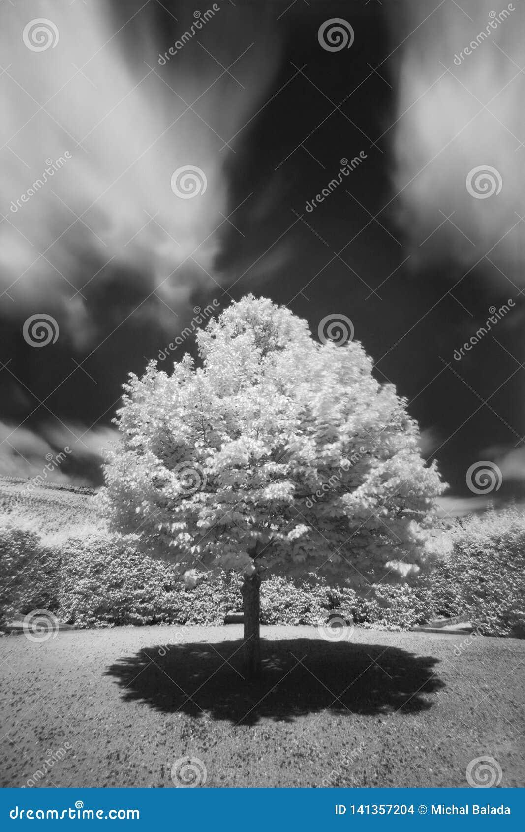 Groot de herfsteik en gras op een weide rond Eenzame mooie de herfstboom Silhouet solitaire boom