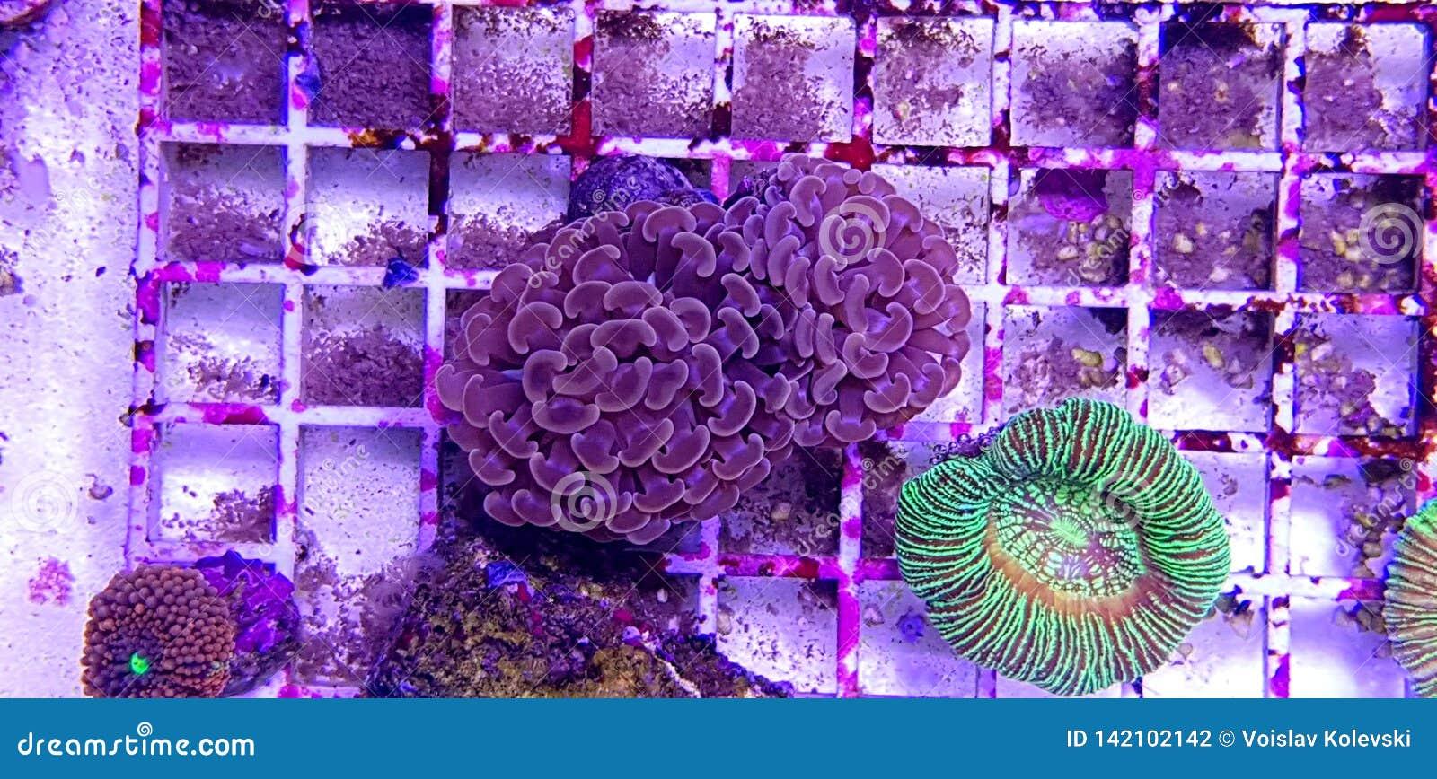 Groot de Poliep Steenachtig koraal van Euphylliaspecies in het aquarium van de zoutwaterertsader