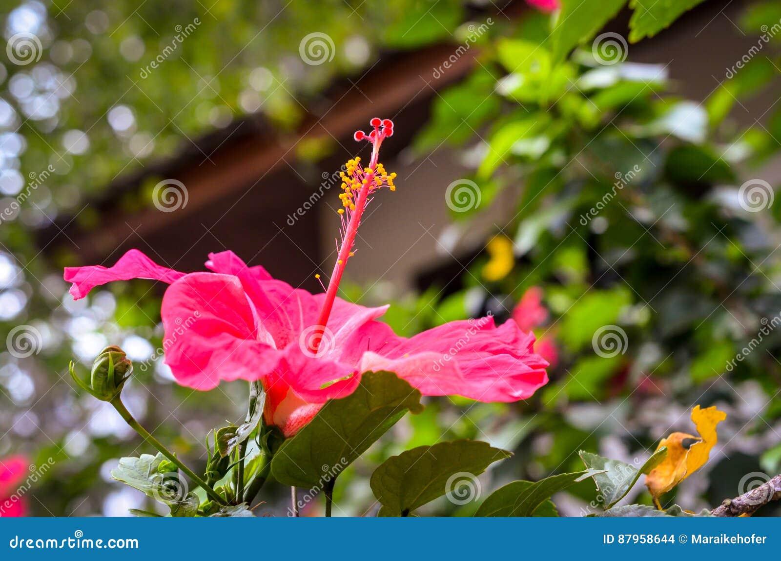 Groot donkerroze de bloesem macroschot van de hibiscusbloem