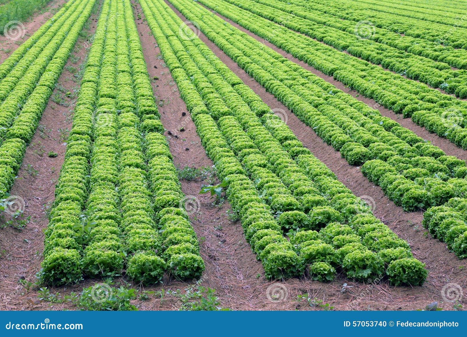 Groot gebied van groene sla in de vlaktes in de zomer