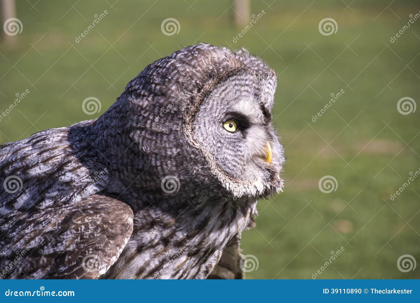 Groot Grey Owl - close-up