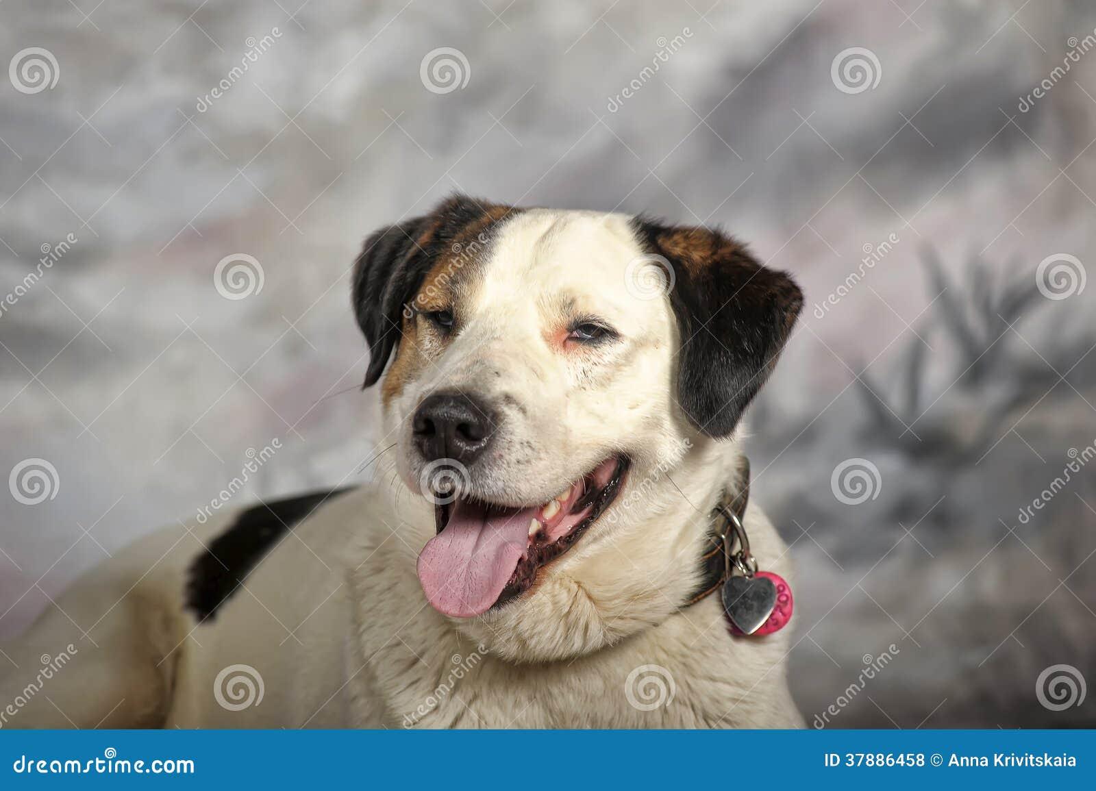 Groot wit met zwarte en rode bastaarde hond in studio op een de winterachtergrond
