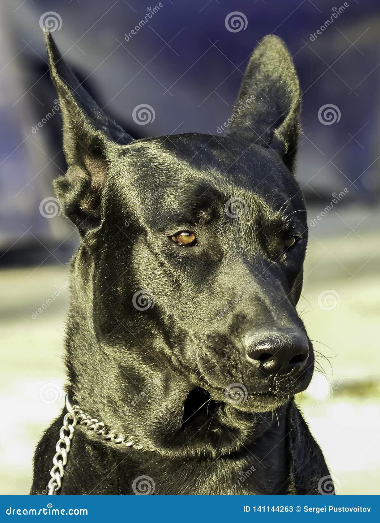 Groot zwart hondportret met vage achtergrond in openlucht, daglicht