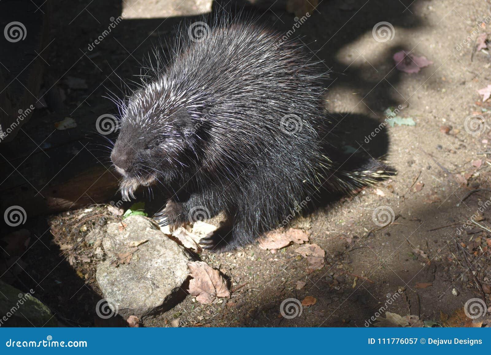 Groot zwart stekelvarken op zijn achterste benen met een open mond