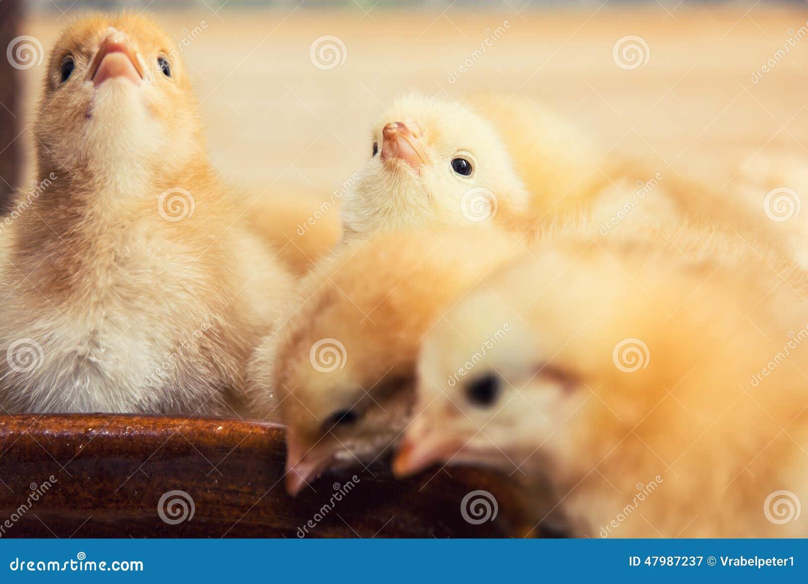 Grootbrengende kleine gele kuikens