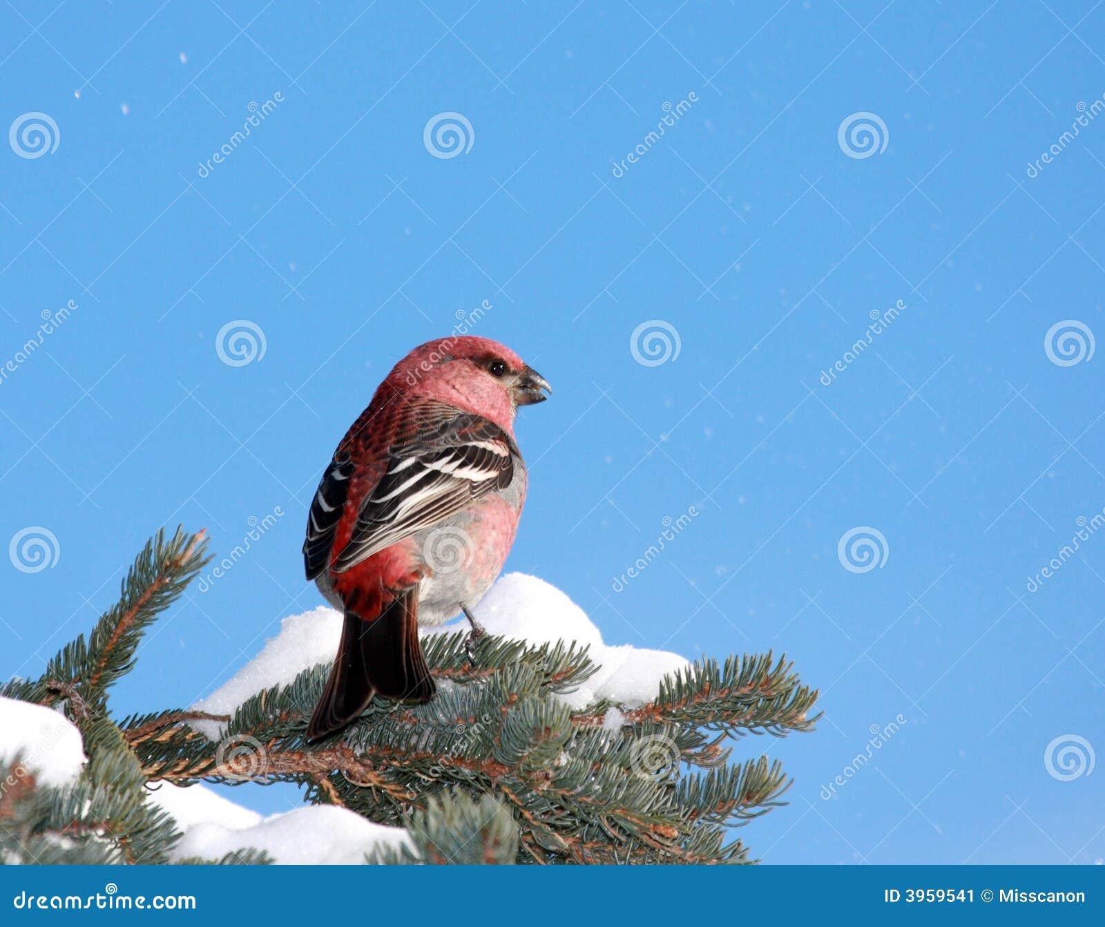 Gros-bec de pin en hiver