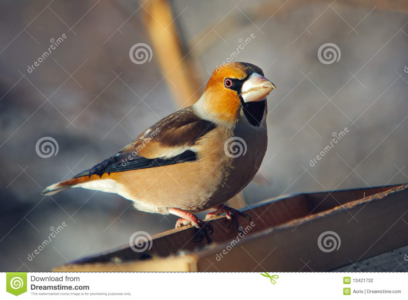 Download Grosbeak Perched On A Birdfeeder Stock Photo - Image of winter, birdfeeder: 13421732