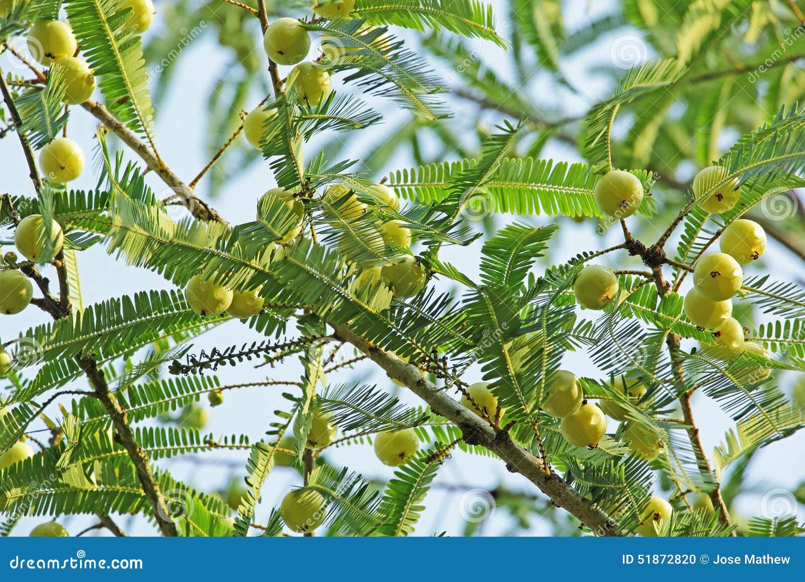 groseille maquereau indienne phyllanthus emblica photo stock image 51872820. Black Bedroom Furniture Sets. Home Design Ideas